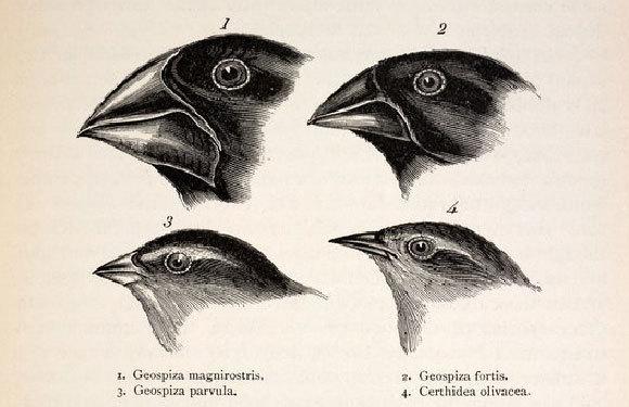 פרושי הגלפגוס הגיעו לאיים והתחלקו תוך זמן קצר יחסית ל-14 מינים, כל אחד עם מקור שמותאם לסוג המזון שלו | Paul D Stewart, Science Photo Library