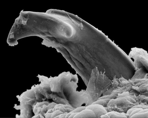 צאצאי התולענים האפריקניים אוכלים את עור אימן בעזרת שיניים מיוחדות | צילום מיקרוסקופ אלקטרונים סורק: Natural History Museum, London / Science Photo Library