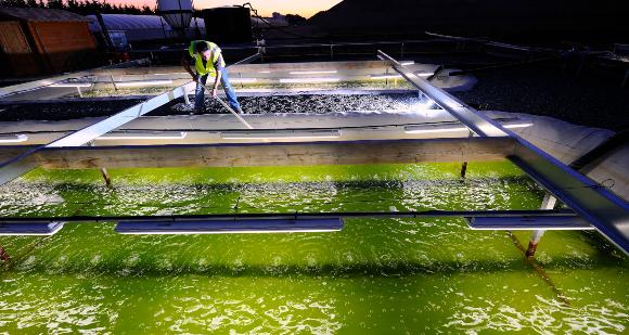 גידול אצות כלורלה בבריכות בצרפת | צילום: MATTEIS / LOOK AT SCIENCES / SCIENCE PHOTO LIBRARY