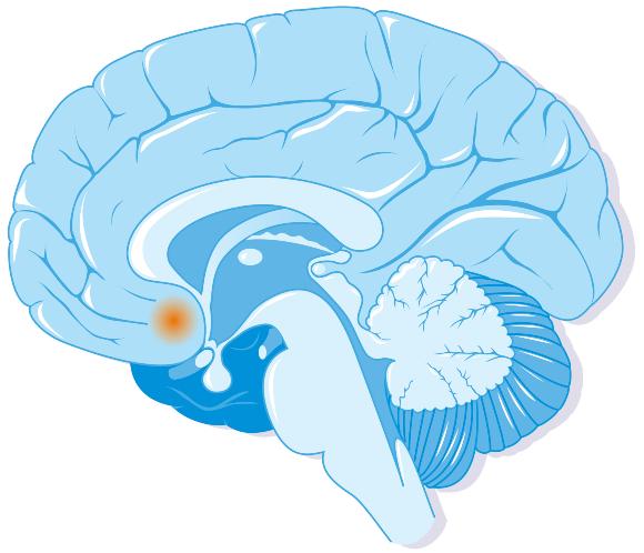 מעורב בהתמכרויות, וגם באהבה זוגיות מונוגמית. גרעין האקומבנס במוח | איור: JACOPIN / BSIP / SCIENCE PHOTO LIBRARY
