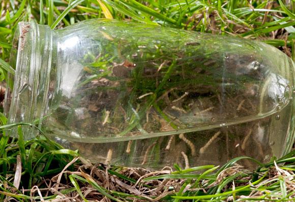 מתרבים גם במקווי מים קטנטנים מעשה ידי אדם: זחלים וגלמים של טיגריס אסיאני בצנצנת | צילום: Science Photo Library