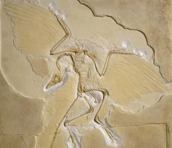 העתק של אחד ממאובני הארכאופטריקס שהתגלו בגרמניה | צילום: NATURAL HISTORY MUSEUM, LONDON / SCIENCE PHOTO LIBRARY