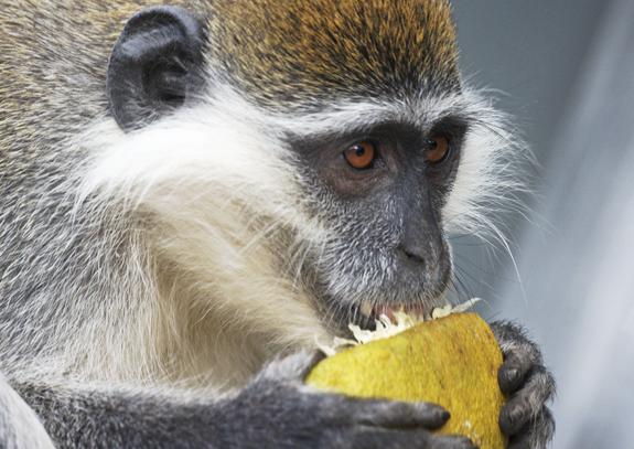 קוף וֶרְוֶט במזרח אפריקה | צילום: BRIAN GADSBY / SCIENCE PHOTO LIBRARY