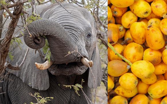 פיל אוכל מעץ מרולה בדרום אפריקה ופירות מרולה | צילומים: Andrea Izzotti, Jaroslaw Grudzinski, Shutterstock