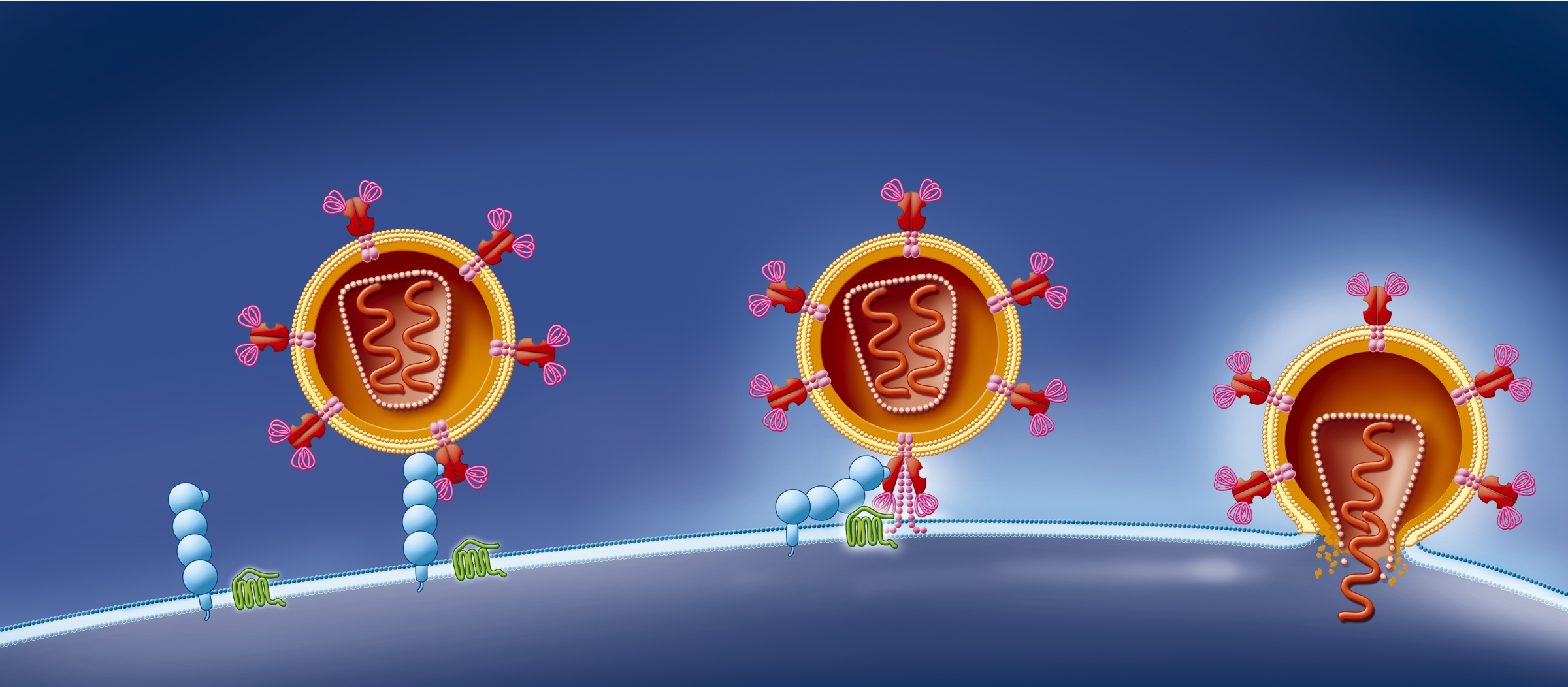 חלבון CCR5 (ירוק) צמוד לקולטן (כחול) מאפשר לנגיף HIV לחדור לתא T מסייע | איור: Science Photo Library