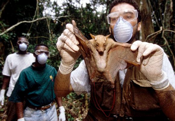 עטלף שנתפס במהלך מחקר לגילוי מקור נגיף האבולה | איור: PATRICK WALLET / LOOK AT SCIENCES / SCIENCE PHOTO LIBRARY