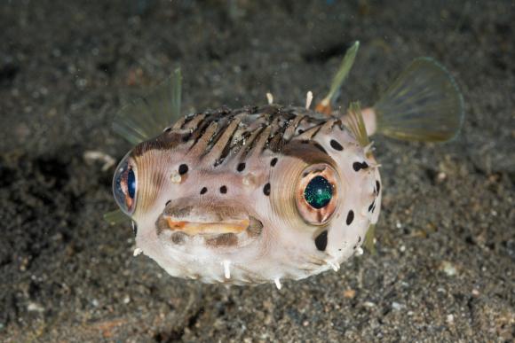 הרעלן חוסר את תעלות הנתרן בעצבים המוטוריים, ומשתק שרירים רבים. דג Diodon holocanthus | מקור: Science Photo Library