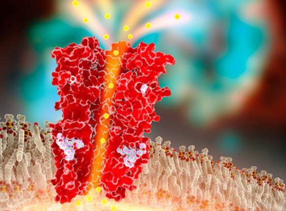 התרופה פותחת תעלות כלור (באדום) בתאי עצב של טפילים, אך לא ברור אם וכיצד היא פועלת נגד נגיפי קורונה | איור: RAMON ANDRADE 3DCIENCIA / SCIENCE PHOTO LIBRARY