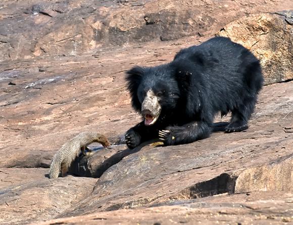 הדוביים (Ursidae) היא משפחה של יונקים טורפים, שבתוכה הדובים עצמם (Ursinae) היא תת-משפחה, כלומר קבוצה בתוך משפחת הדוביים, שכוללת שישה מינים. שתי תת-המשפחות הנוספות של הדוביים כוללות את דוב הפנדה ואת דוב המשקפיים, שלמרות הקרבה והדמיון לא נחשבים דובים. הדובים אומנם נחשבים לטורפי היבשה הגדולים בעולם, אבל הם לא טורפים, אלא אוכלי-כול – אומניבורים – כלומר לא בוחלים גם במזונות צמחיים. אף על פי שהם מגושמים יחסית ואין להם יכולות אתלטיות השקולות לאלה של החתוליים או הכלביים, יש להם גוף גדול וחזק. בדומה לבני האדם הם רצים על כפותיהם הרחבות, ולא על הבהונות כמו רוב הטורפים, וכתוצאה מכך הריצה שלהם לא יעילה למרדף אחרי טרף מהיר. גם השיניים של הדובים אינן שיני טורפים קלאסיות, שכן אין להם ניבים ארוכים וחדים שיכולים לסייע מאוד בציד.   *תמונה של דוב ונמייה** הדובים נחשבים לטורפי היבשה הגדולים בעולם. צילום: K Jayaram / Science Photo Library   בנוסף, הדובים הם בעלי חיים יחידאים, שחיים בגפם ואינם מתלהקים וצדים בקבוצות. ההזדמנות היחידה שבה אפשר להיתקל בקבוצת דובים היא כשפוגשים אמא דובה עם גורים. ועם זאת, הדובים הם יצורים גדולים שזקוקים להרבה אנרגיה כדי לשרוד ולהעמיד צאצאים. לשם כך הם מנצלים מגוון רחב של מקורות מזון שזמינים באזורי המחיה שלהם. דובים חיים באירופה, אסיה וצפון אמריקה, באזורים מגוונים מאוד מבחינת הגיאוגרפיה האקלים והמשאבים הזמינים בהם. לכן גם התזונה של המינים השונים מגוונת מאוד. הדב השפתני, שחי בהודו, ניזון בעיקר מטרמיטים, ואילו הדיאטה של הדובים החומים בצפון אמריקה מתבססת על דגי סלמון. ודוב הקוטב? הוא בכלל צד כלבי ים.   **תמונה של דוב אוכל פירות** דוב שחור (Ursus americanus) אוכל פירות יער צילום: Michael Tatman Shutterstock   דובים שחיים באזורים קרים, שהחורף בהם קשה והמזון בו מועט, מתמודדים עם האתגר ההישרדותי הזה על ידי שנת חורף: הם נכנסים למאורה וישנים. במהלך שנת החורף הדוב לא אוכל ולא שותה, ומאבד עד קרוב לשליש ממשקל גופו. כשהאביב מגיע והתנאים בחוץ משתפרים, הדובים יוצאים מחדש לעולם וצריכים למלא את מאגרי השומן שלהם, כדי לשרוד בשלום גם את החורף הבא.    דובים ודבש בעונת האביב, שהמזון בה זמין ושופע, הדובים הם מכונות אכילה משוכללות שזוללות מכל הבא ליד. כך שבהכללה אפשר לומר שהתשובה לשאל