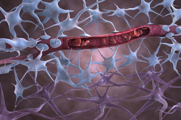 אילוסטרציה של מחסום הדם-מוח | Gunilla Elam, Science Photo Library