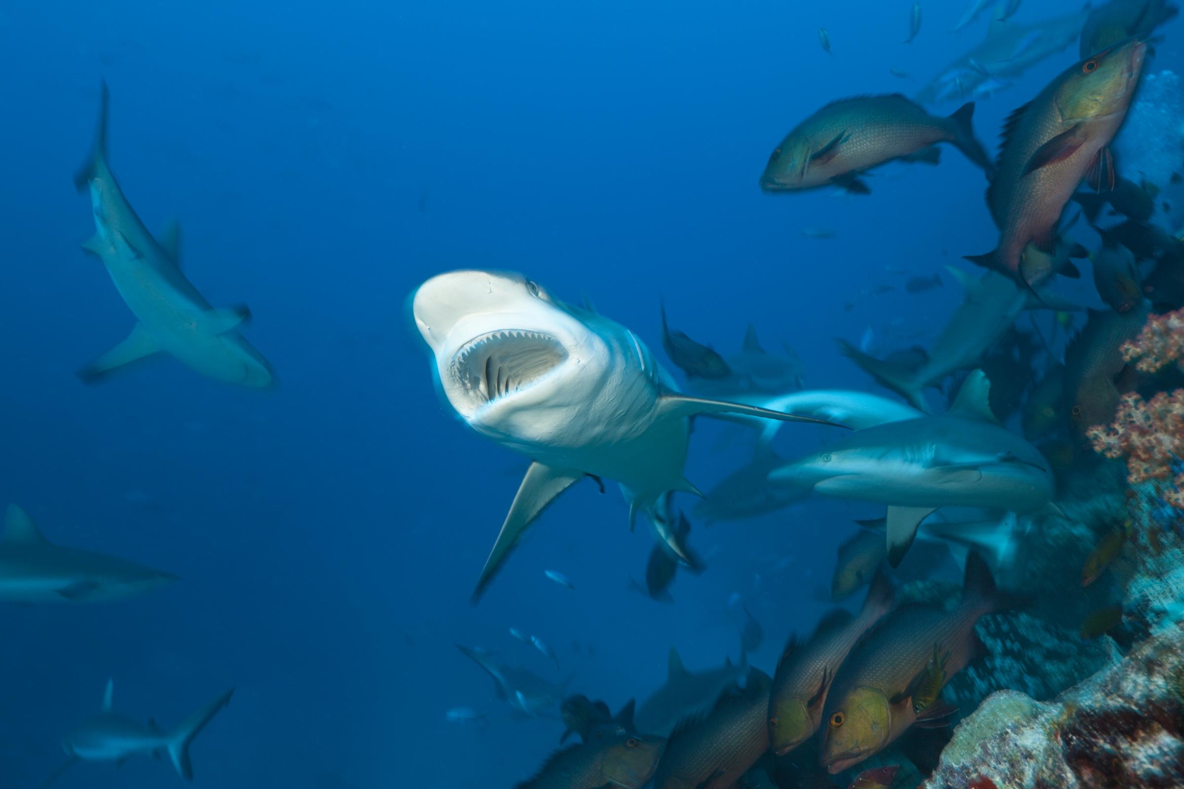 כרישי שונית אפורים, spl