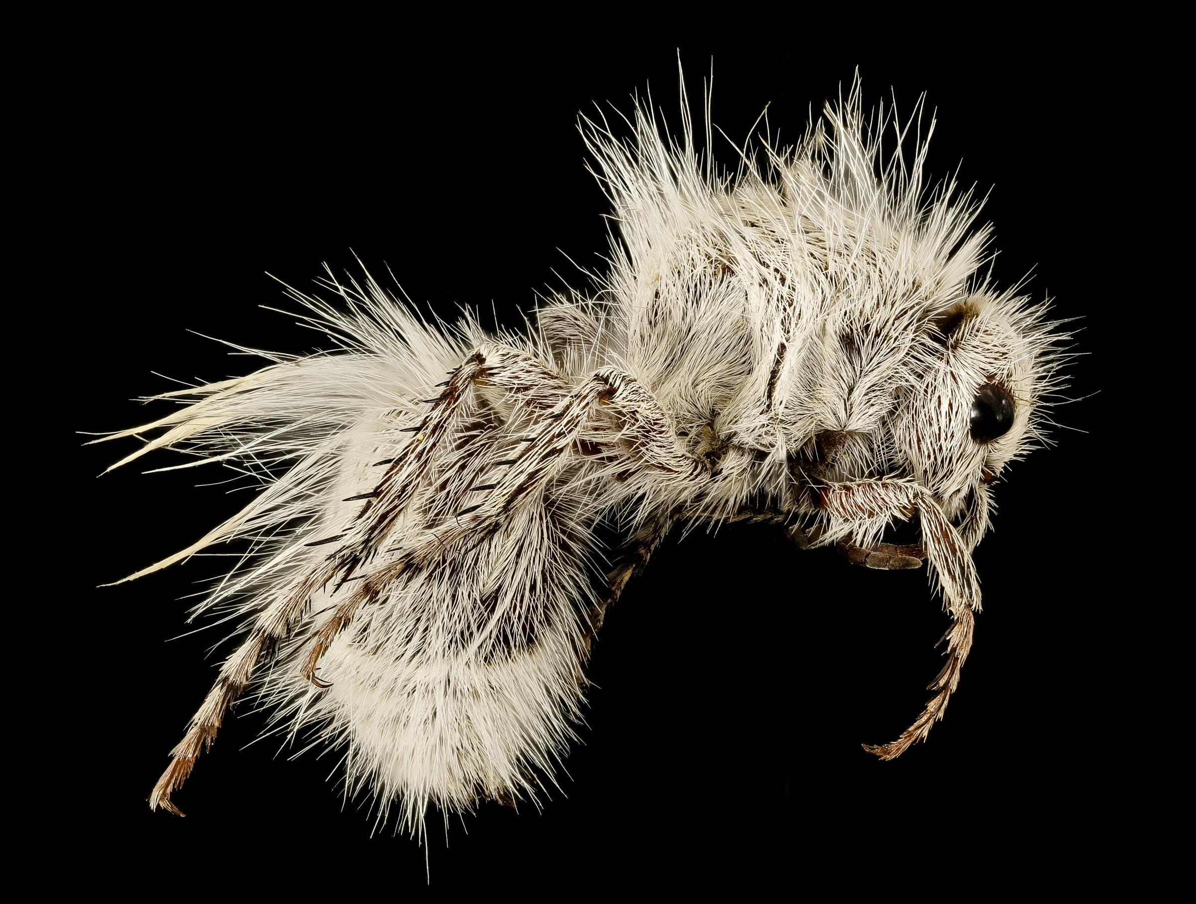 נקבת המין Dasymutilla gloriosa
