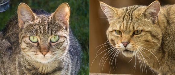 חתול בר וחתול בית - השוואה