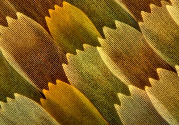 צילום מיקרוסקופ של קשקשי כנף פרפר | SPL