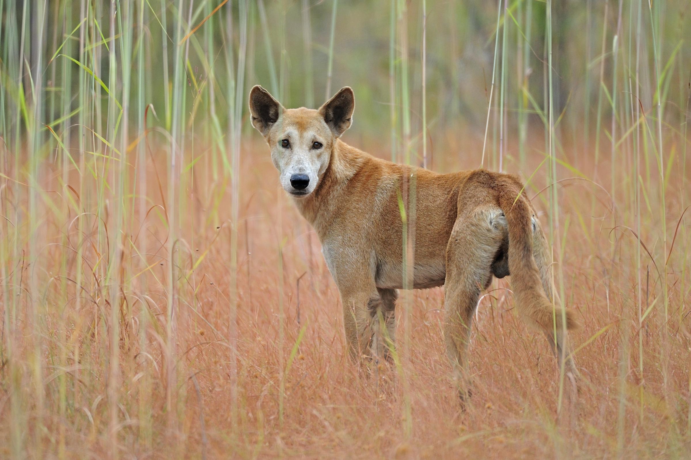 כלב פרא, הדינגו. spl