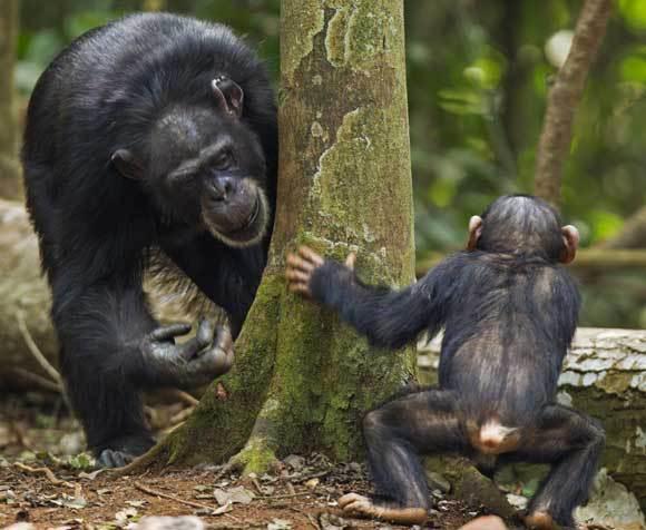 אמא שימפנזה משחקת עם גור | צילום: ANUP SHAH / NATURE PICTURE LIBRARY / SCIENCE PHOTO LIBRARY