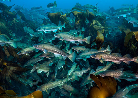 להקת דגי בקלה ביער קלפ לחופי איסלנד| Alex Mustard / Nature Picture Library, SPL