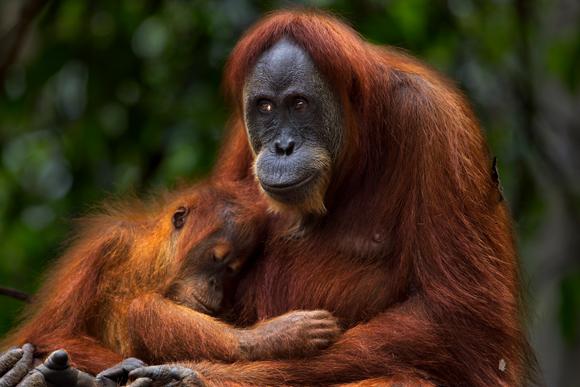אורנגאוטנית עם ביתה, בת כשלוש או ארבע | SPL, Fiona Rogers