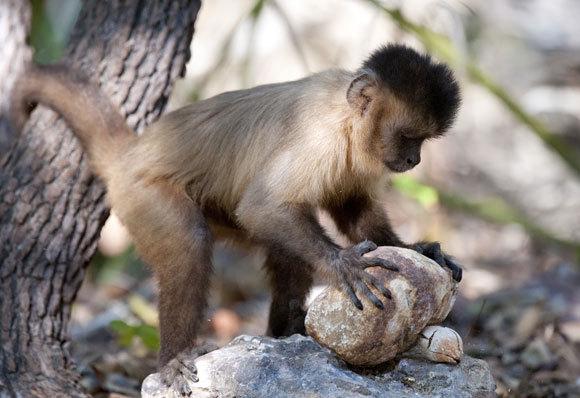 מתי עדיף לזנוח את המאמץ ומתי כדאי להמשיך? קוף קפוצ'ין מפצח אגוז בעזרת אבן בשמורת פרנאיבה בברזיל | צילום: BEN CRANKE / NATURE PICTURE LIBRARY / SCIENCE PHOTO LIBRARY