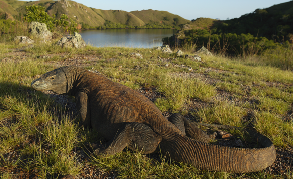 Komodowaran auf einer indonesischen Insel. Cyril Ruoso, Nature Picture Library, Science Photo Library