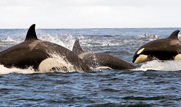 גם הם עברו בהצלחה את מבחן המראה. דולפינים קטלנים (אורקה) מול חופי דרום אפריקה | צילום: Science Photo Library