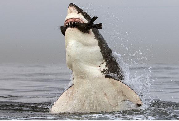 עמלץ לבן קופץ מהמים עם כלב ים בפיו, דרום אפריקה   Chris & Monique Fallows, Nature Picture Library, Science Photo Library
