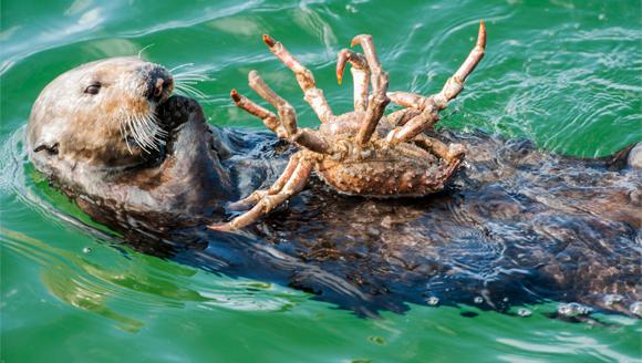 לוטרת ים קליפורנית אוכלת סרטן | SPL, Doc White