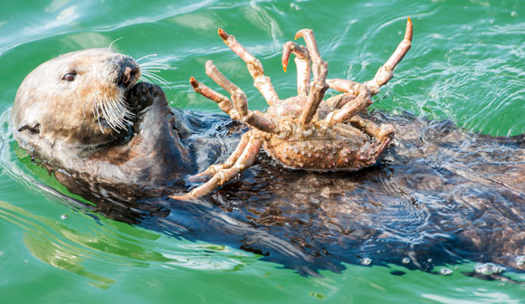 לוטרת ים קליפורנית אוכלת סרטן | צילום: DOC WHITE / NATURE PICTURE LIBRARY / SCIENCE PHOTO LIBRARY