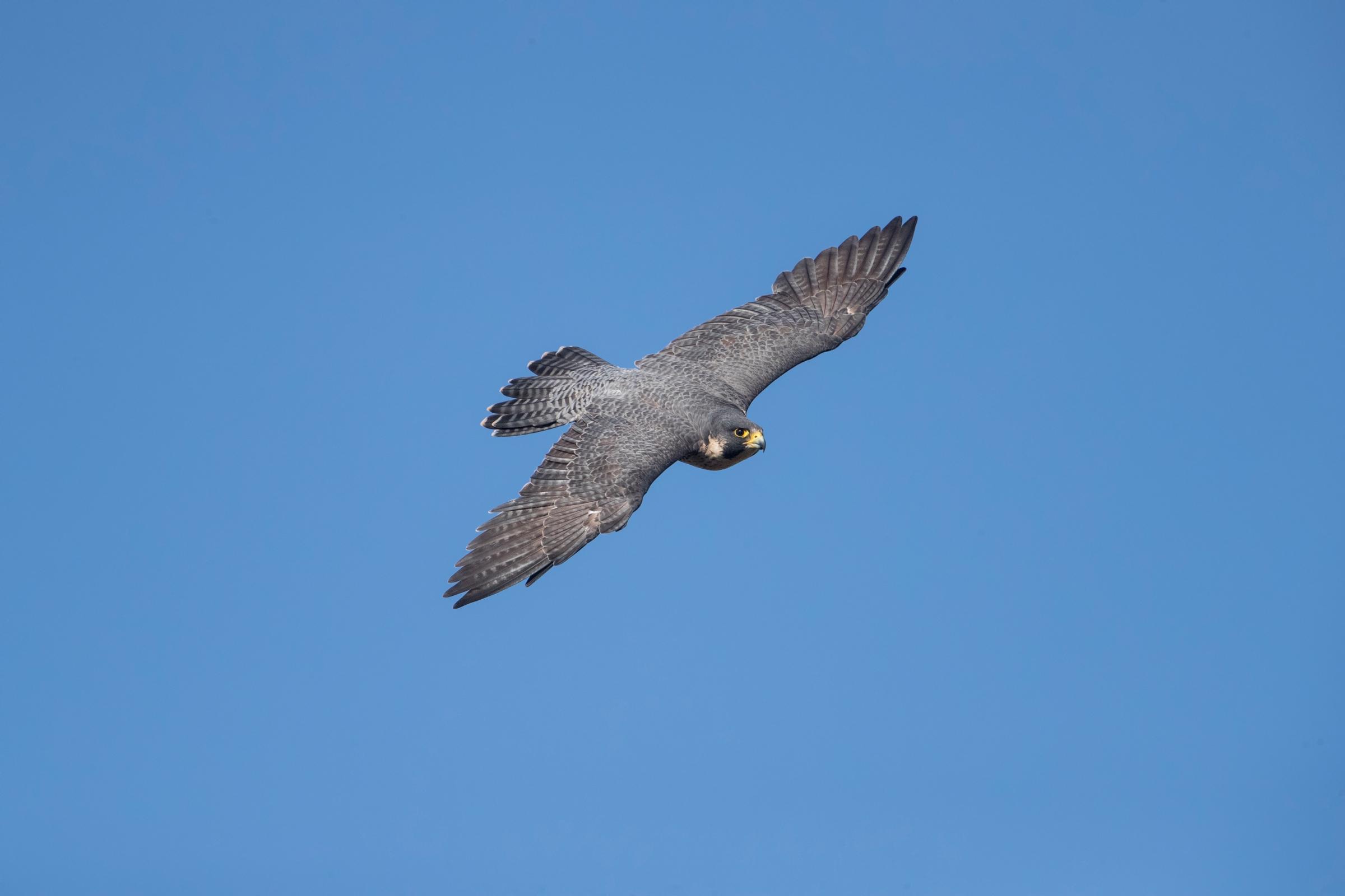ציפור הטרף בז נודד. מקור: shutterstock