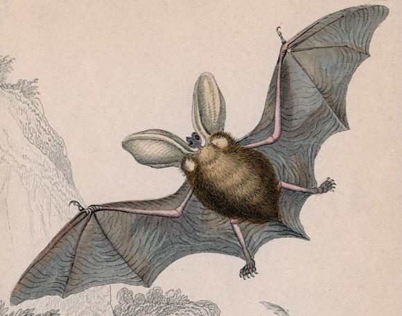 עטלף אוזנן | איור: Science Photo Library