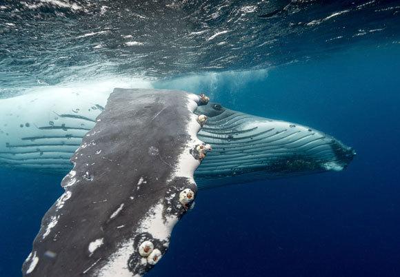 מהווה השראה לטורבינות רוח. לווייתן גדול-סנפיר | צילום: Science Photo Library