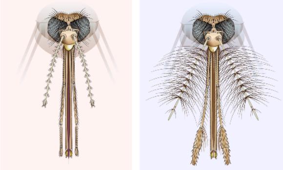 מחושי היתוש והזיפים. מימין: זכר היתוש, משמאל: נקבת היתוש | איור: Science Photo Library