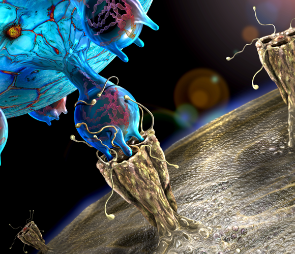 חלקיק נגיפי של קורונה (בכחול) מדביק תא של בן אדם | איור: KEITH CHAMBERS / SCIENCE PHOTO LIBRARY