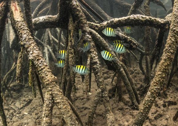 דגי דַּפְדּוּף שוחים בין מַנְגְרוֹבִים בגלפגוס | צילום: Nick Hawkins / Science Photo Library