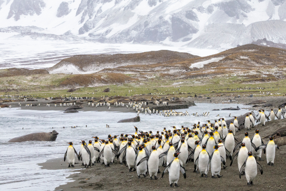 מושבות של פינגווינים מלכותיים ופילי ים בחופי ג'ורג'יה הדרומית. צילום: ALEX HYDE / SCIENCE PHOTO LIBRARY