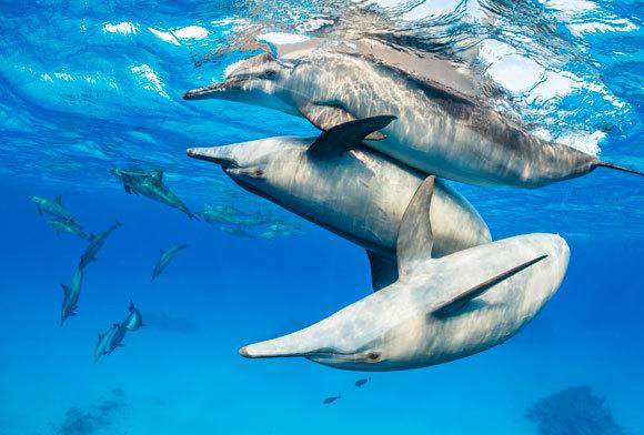 דולפינים מהמין סטנלה ארוכת-חרטום משחקים יחדיו | צילום: Alex Mustard / Nature Picture Library / Science Photo Library