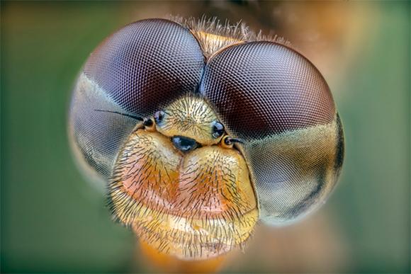 ראייה מרחבית. העיניים המורכבות הענקיות של שפירית, וביניהן שלוש עיניות קטנות | צילום: PHIL DEGGINGER / SCIENCE SOURCE / SCIENCE PHOTO LIBRARY
