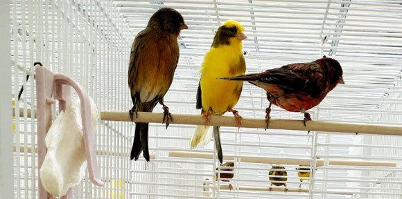 שלושה ציפורי קנרי שהשתתפו בניסוי | צילום: ירדן כהן