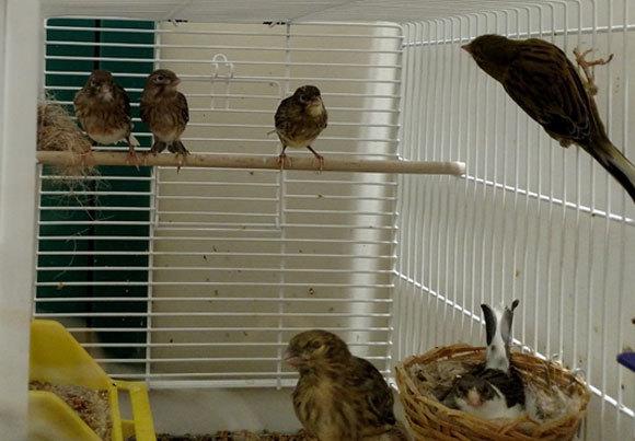 משפחה של ציפורי קנרי מהניסוי | צילום: ירדן כהן