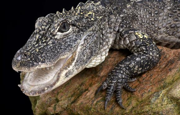 אליגטור סיני | צילום: reptiles4all / Shutterstock