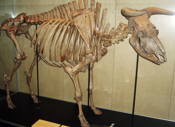 שלד של פר הבר, האורוקס, מהמוזיאון הזואולוגי בקופנהגן | Wikipedia, FunkMonk