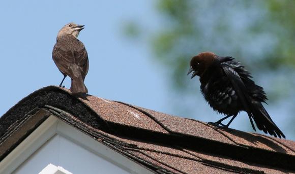 זכר של ציפור בקר חומת ראש (מימין) מחזר אחר נקבה | ויקיפדיה, Jmalik