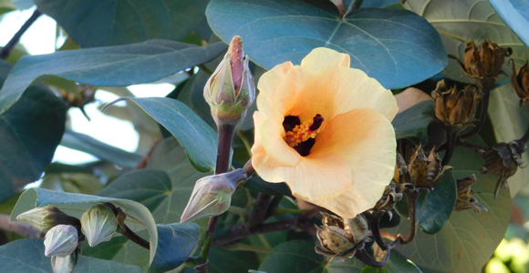 פרחים צהובים מחופי האיים הטרופיים. היביסקוס טלייתי פורח בכפר סבא | צילום: איגור ארמיאץ' שטיינפרס