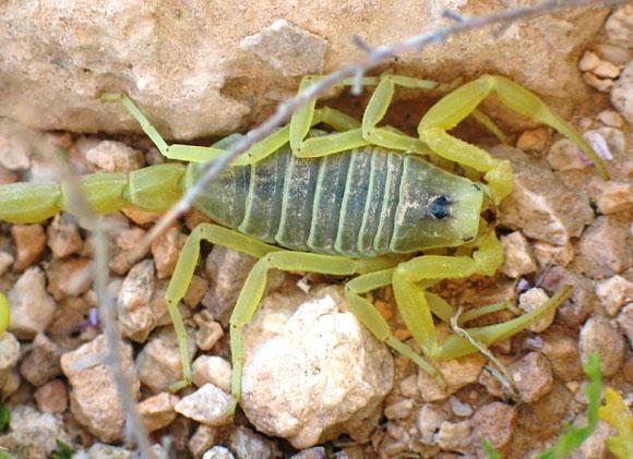 עקרב L. quinquestriatus בנגב | צילום:  Ester Inbar, ויקיפדיה