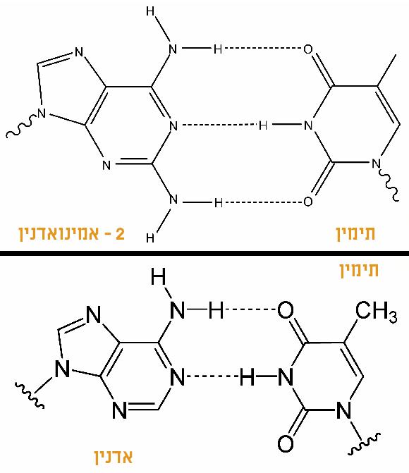 הקשר בין Z ל-T (למעלה) כולל שלושה קשרים, לעומת שניים בין A ל-T, ולכן הוא חזק יותר | ויקיפדיה, Yikrazuul, Magnus Manske