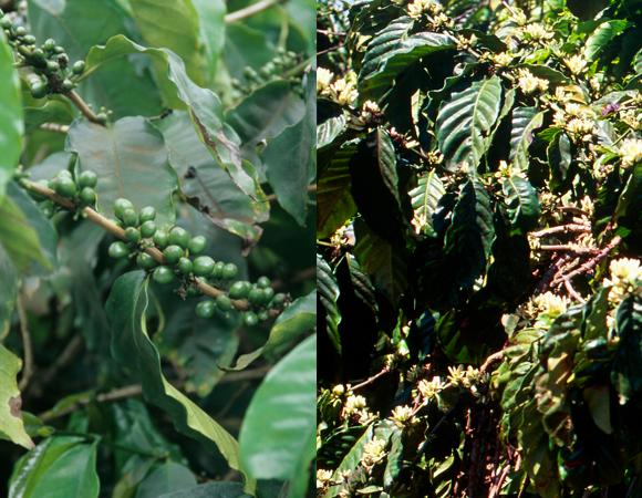 צמחים של קפה ערביקה (משמאל) וקפה רובוסטה | Michael R Chandler, Cristina Pedrazzini, Science Photo Library