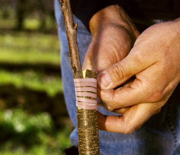 אדם מרכיב עץ דובדבן בקליפורניה   Russ Munn, Agstockusam, Science Photo Library
