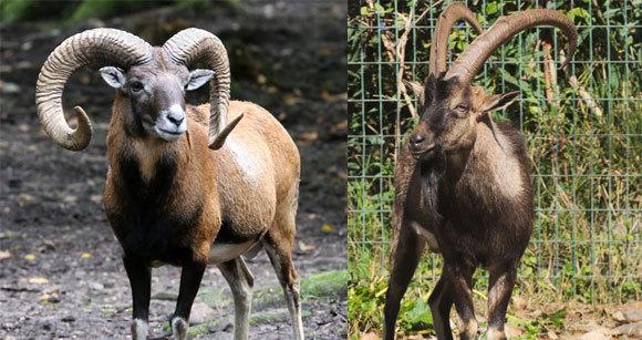 גם הכבשים וגם העזים בויתו יותר מפעם אחת, מאוכלוסיות שונות של מיני הבר. עז הבר (מימין) וכבש מופלון | Wikipedia, C messier, Rufus46