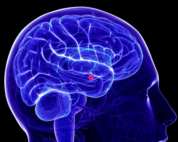 מיקום האמיגדלה במוח | Science Photo Library