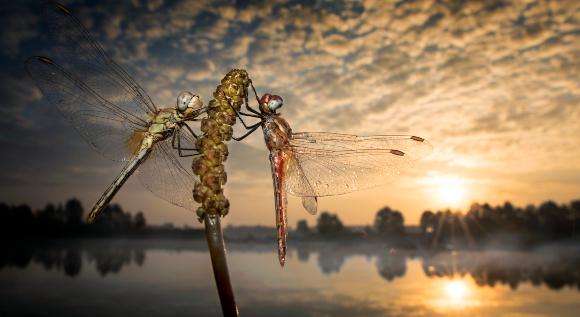 שפיריות על צמח בשקיעה | צילום: ALBERTO GHIZZI PANIZZA / SCIENCE PHOTO LIBRARY